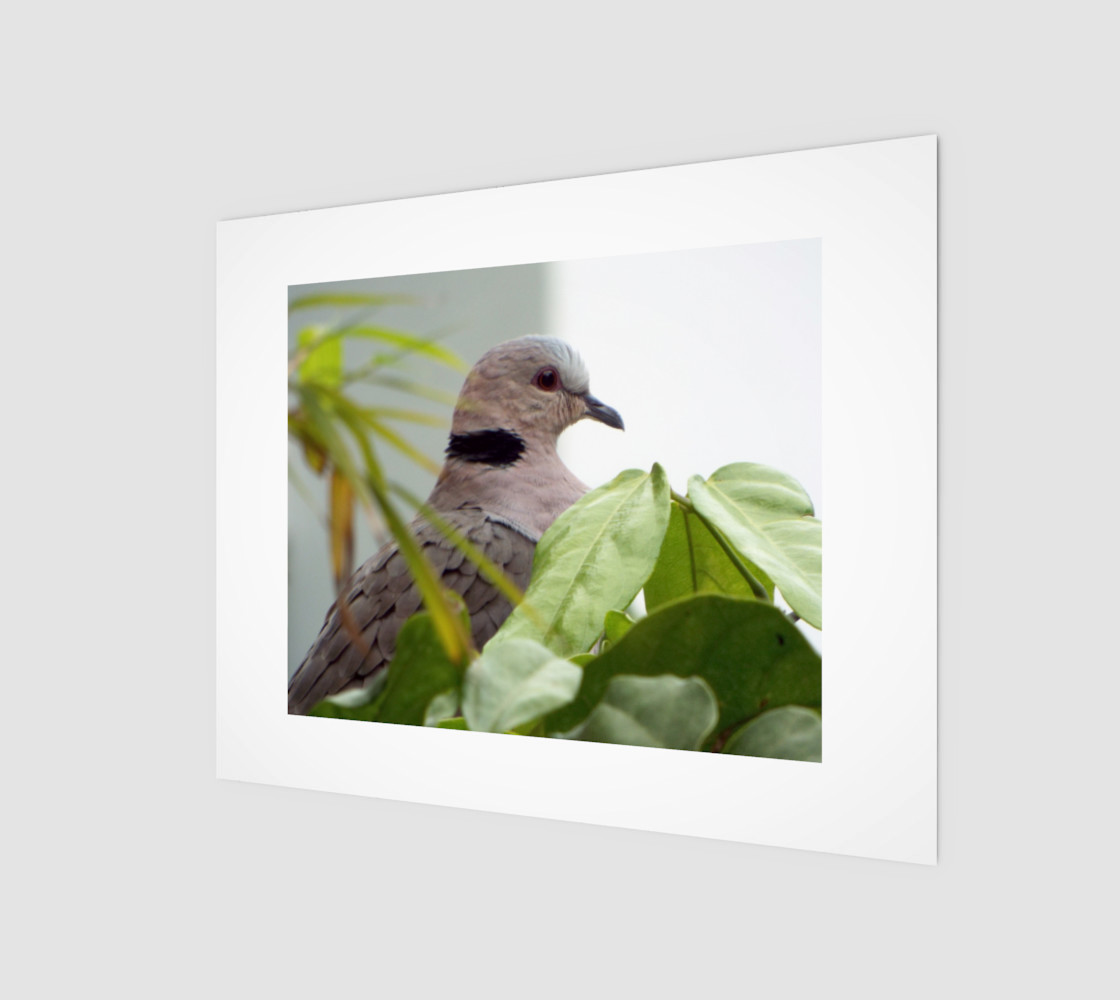 Ring-necked Dove preview #1