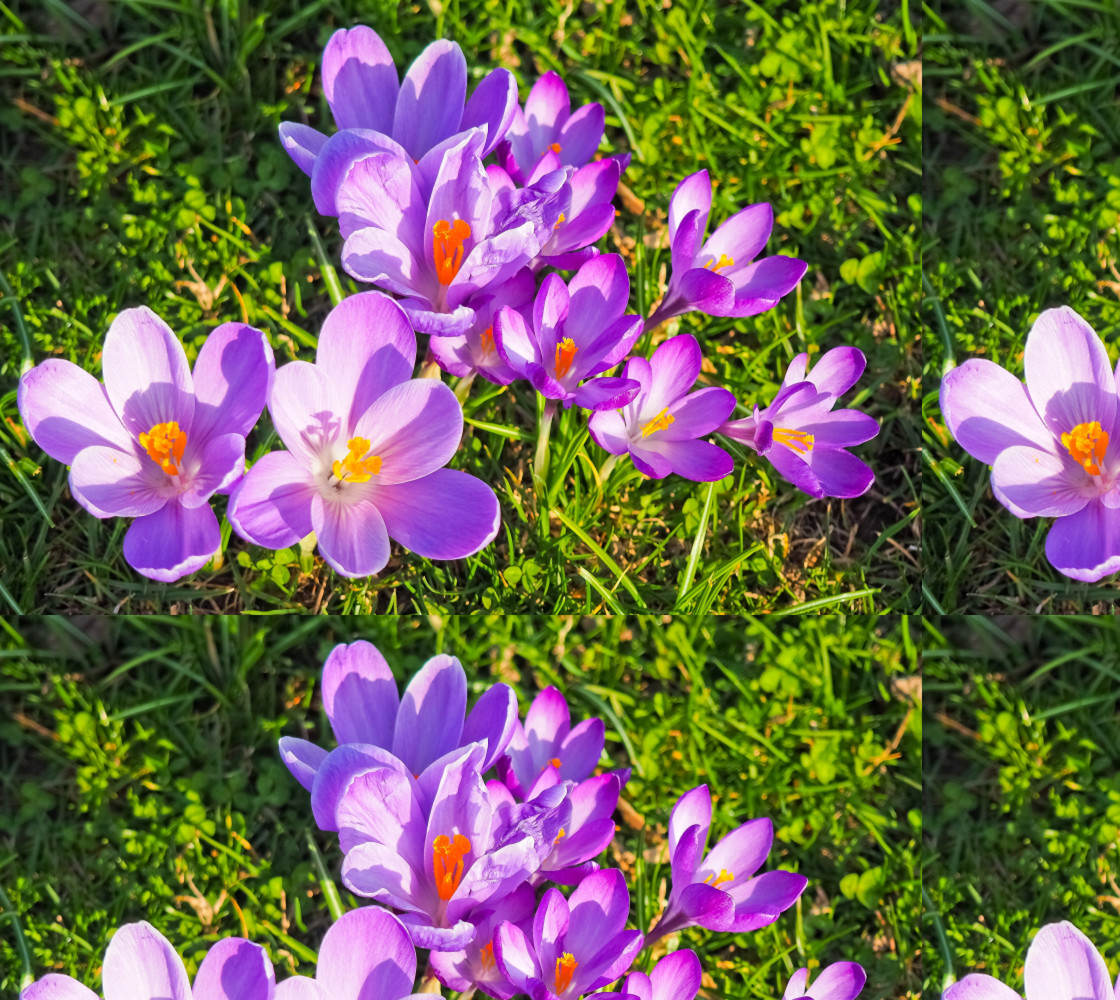 Purple Spring Crocus Fabric thumbnail #1