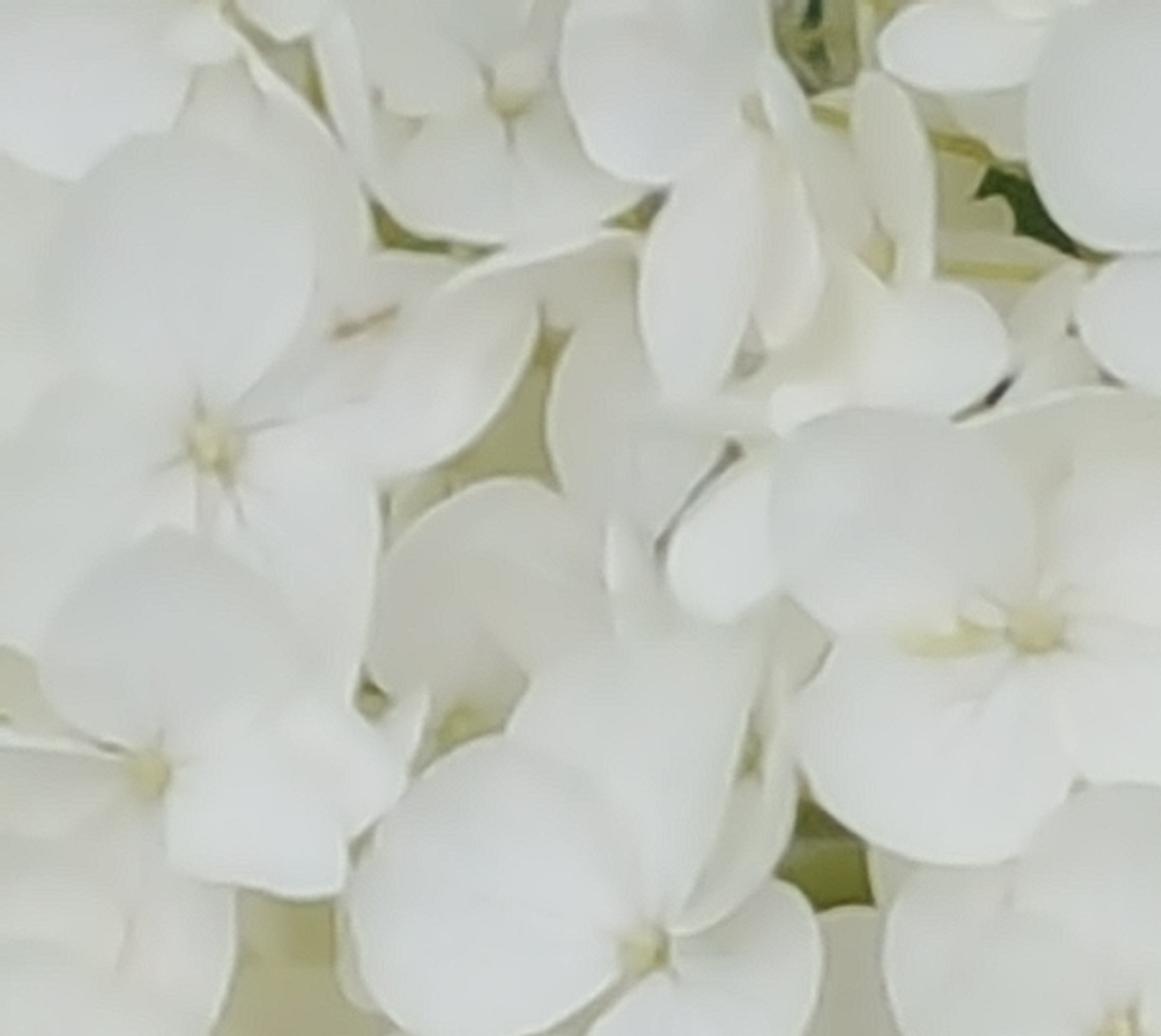 Hydrangea Flowers White Blossom Floral Photography Fabric thumbnail #1