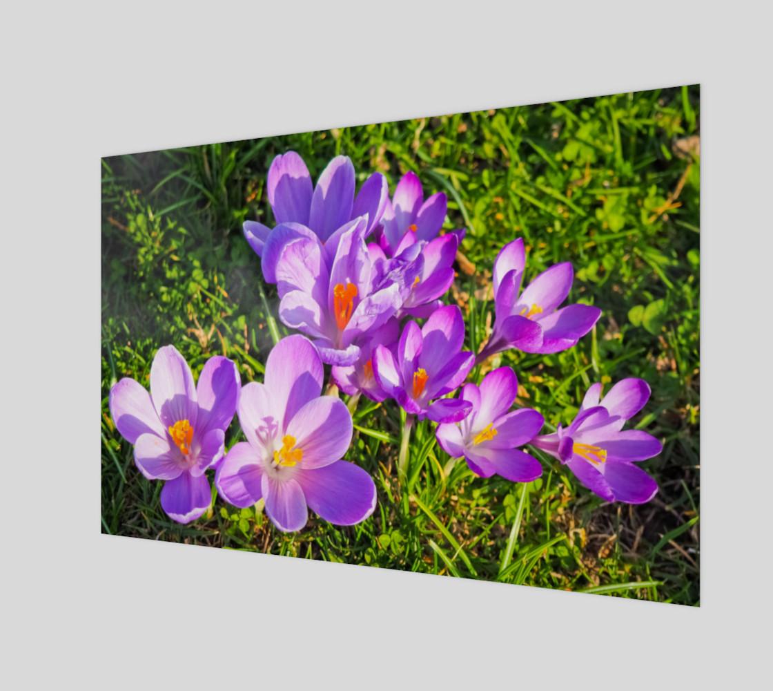 purple crocus preview #1