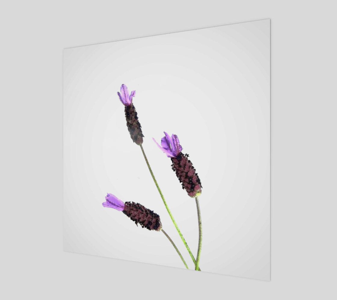 Lavender #2 preview #1