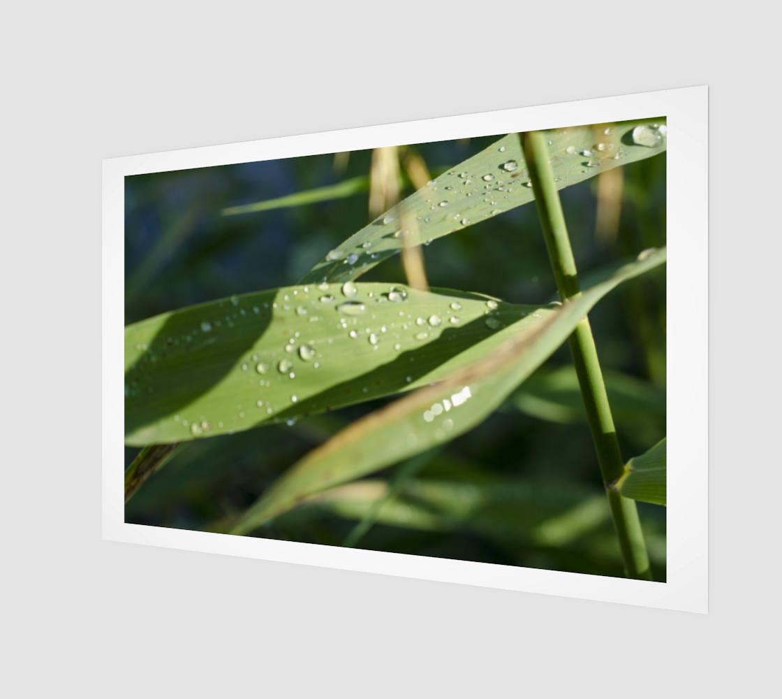 Dew on the reeds preview