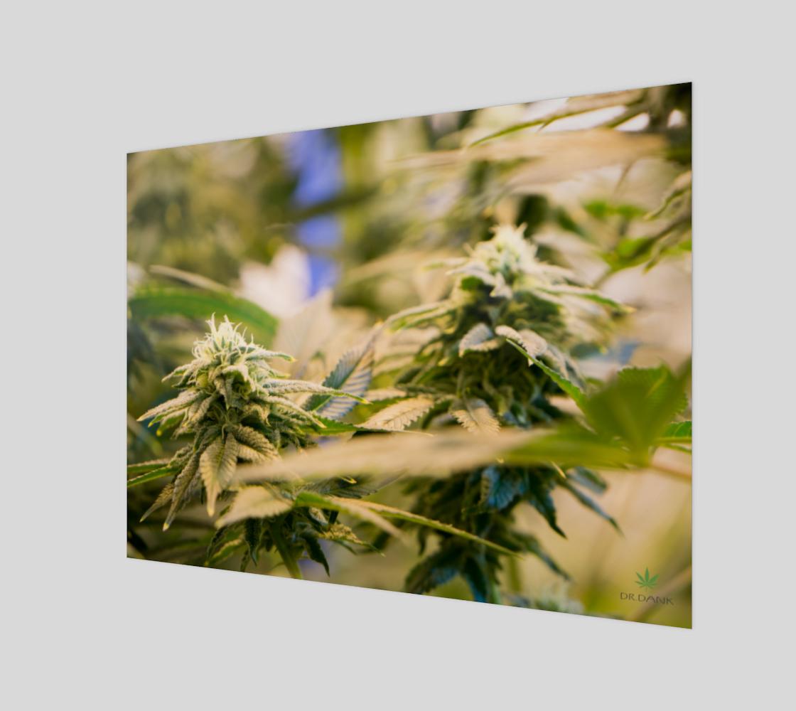 Cannabis Beauties - Dr. Dank Landscape Wall Art preview