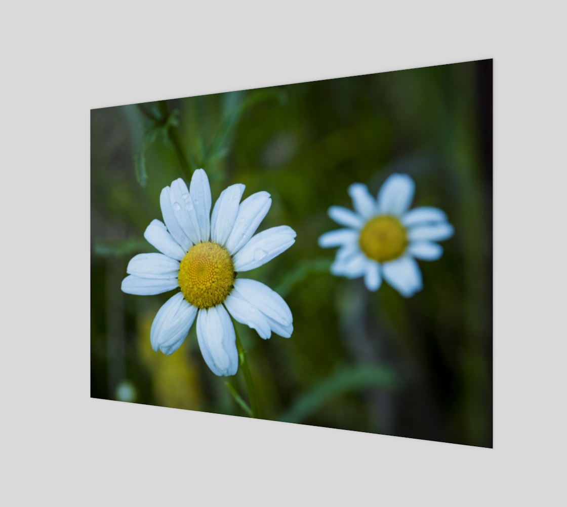 Daisies After Rain preview