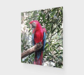 Scarlet Macaw preview