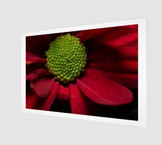 Red Chrysanthemum preview