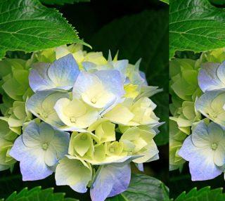 Blue Yellow Hydrangea Flower preview