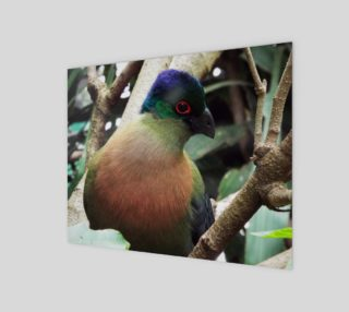 Aperçu de Purple Crested Turaco