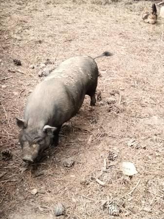 Photo 2 seven-month old black female American Guinea Pigs - $200 (Bradley)