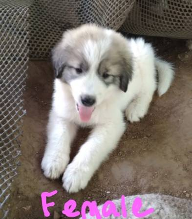 Photo LGD Recruits. Farm Puppies Great Pyrenees Anatolian - $200 (Granite Shoals)