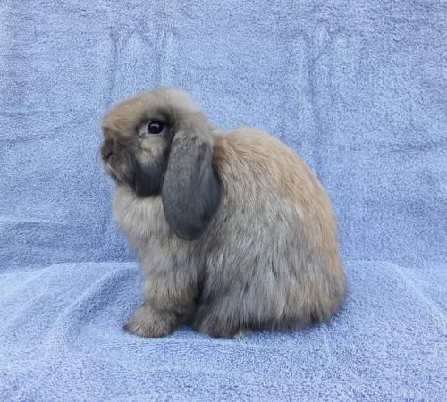 Holland Lop Bunny Rabbit Pet 50 Garden Items For Sale Bakersfield Ca Shoppok