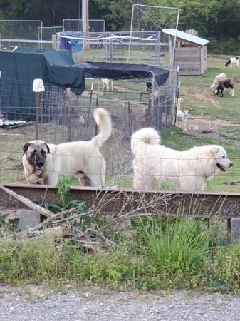 Photo Goat guard dog puppies - Anatolian  Pyrenees mix - $250 (Cullman)