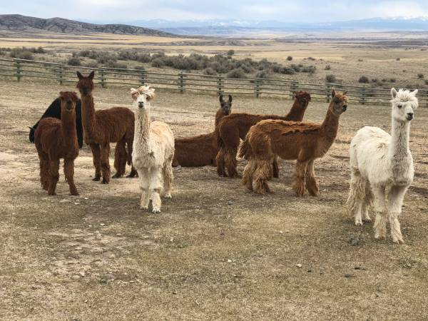Photo Suri Alpacas For Sale (Three Forks MT)