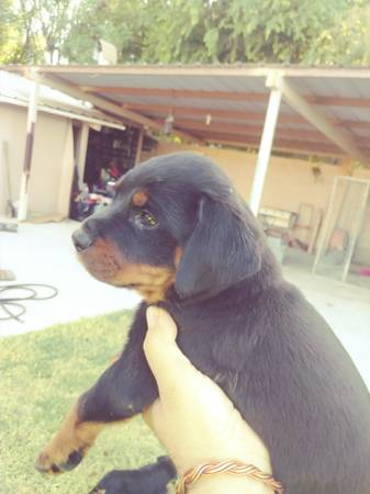Akc Rottweilers Puppies Puppies Garden Items For Sale