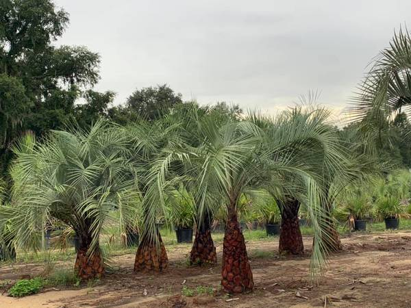Photo Palm Trees Windmill Cold Hardy wholesale prices direct from nursery - $60 (Madison)