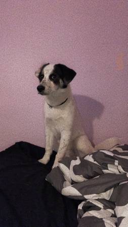 Photo husky mixed with beagle - $100 (Buffalo)