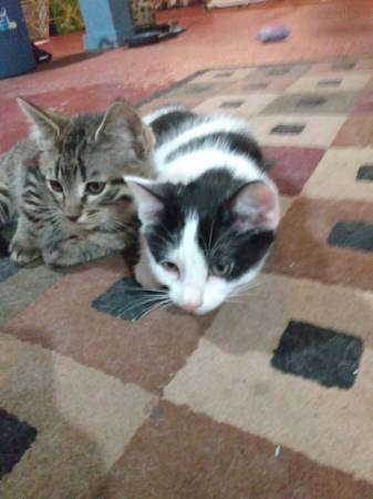 Photo Free to a good home kittens (Van Horne,iowa)