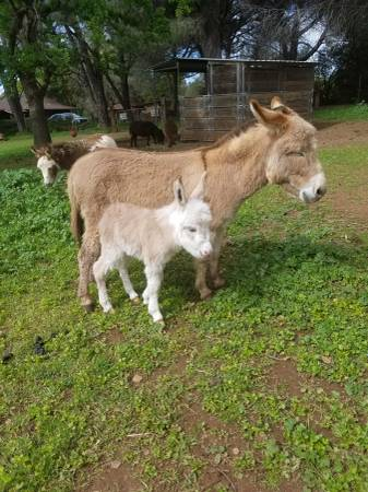 Photo Miniature Donkey Jack Foal
