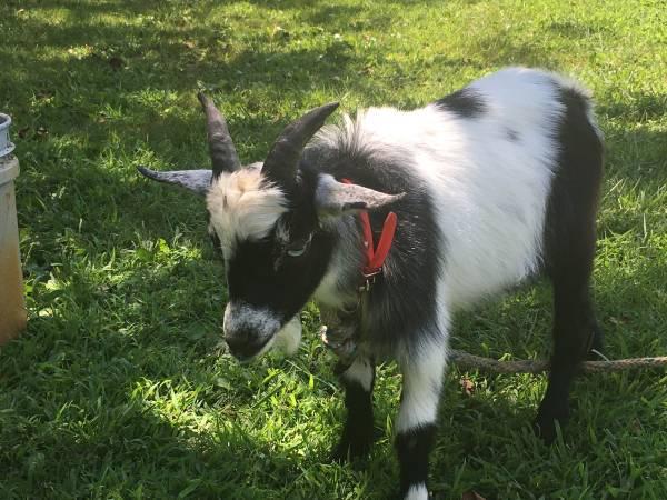 Photo Blue eye dwarf billy goat - $100 (Dover)