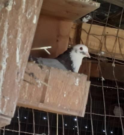 Photo Silver king pigeons - $25 (pembroke ky)