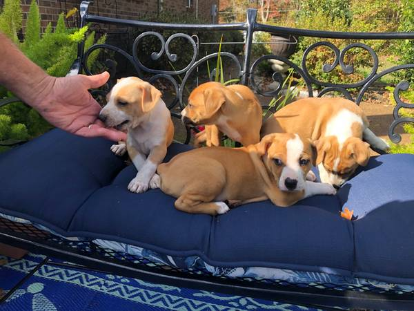 Photo Treeing Mountain Feist Puppies - $250 (Erin, TN)