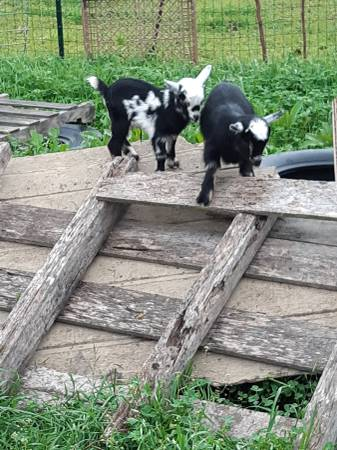 Photo Bottle Baby Blue Eyed goat kids for sale - $125 (Caldwell or Bryan area)