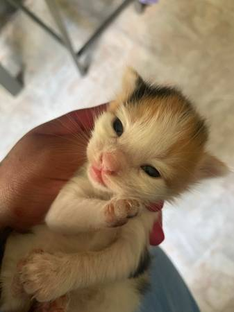 Photo FUR BABIES  BABY KITTENS NEED A LOVING HOME  - $60 (Columbia)