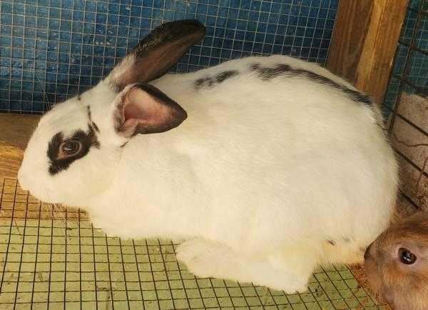 Photo Adult female rabbit - $30 (seale)