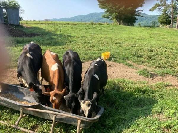 Photo 5 calves (Wartburg Tn)