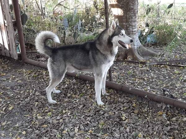 Photo Male Siberian Husky Dog - $100 (Taft)