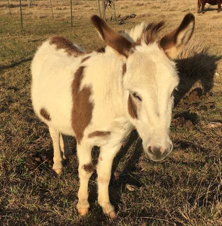 Photo Miniature Donkey - $350