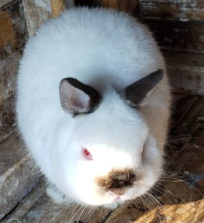 Photo Baby rabbits  1 adult buck - $25 (Martinsville)