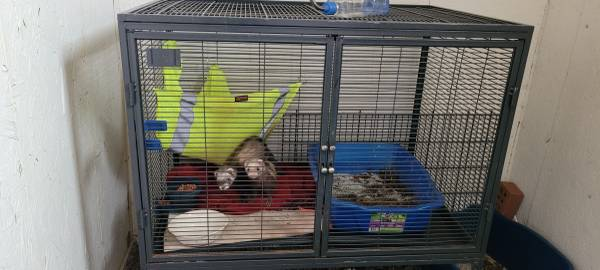 Photo Free to good home ferrets and cage (Springfield)