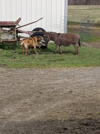 Photo Lovable and gentle Miniature Donkey - $950 (Morrow, OH)
