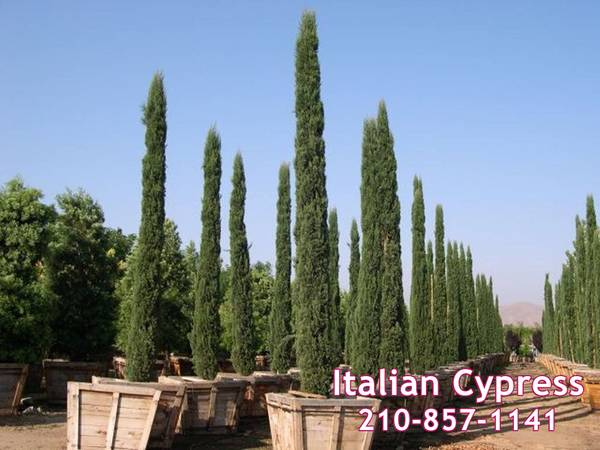 Photo Italian Cypress Various Sizes Available 50 OFF Now Shipping Statewide - $325 (Del RioEagle PassSouth Texas)
