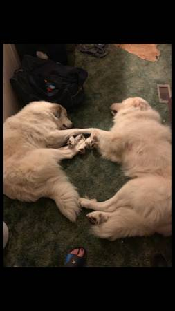 Photo Free to a good home Two Great Pyrenees (Chipley)