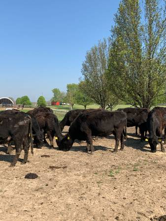 Photo 24 black angus young-middle age bred cows - $750 (Cbellsville)