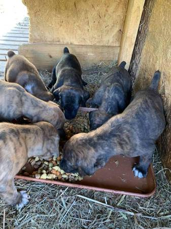 Photo My. Cur Pups (full blooded) - $250 (Garrison)