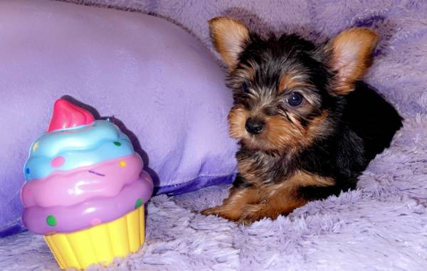 Photo Tawny- Female Yorkie - $2,700 (Sandy Hook)