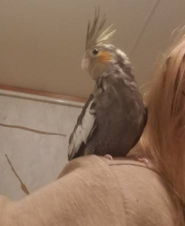 Photo Cockatiels baby birds ready for new homes - $150 (Beaver Dams)