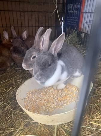 Photo Adult female rabbits - $25 (Wasilla)