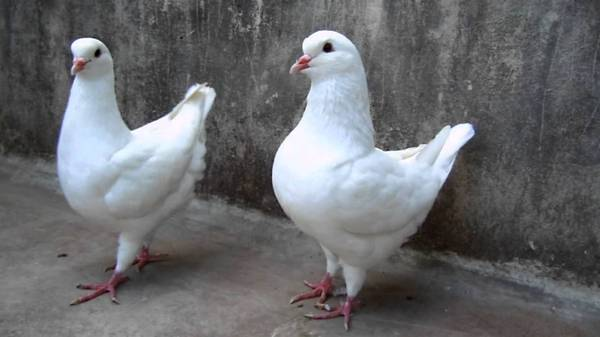 King and Utility Pigeons for sale - $10 - $10 (Fairmont ...