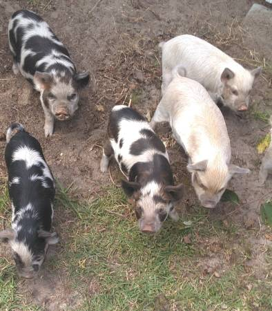 Photo PET PIGS. (KUNE KUNE) - $150 (Frank Jones Rd. Gresham,SC)
