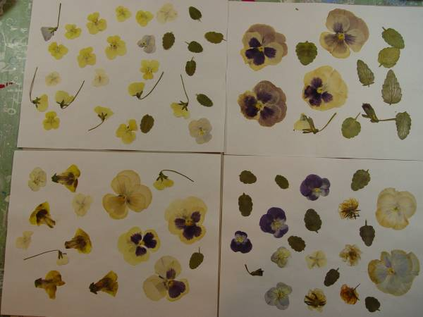 Photo Pressed Flowers-Serious Inquiries Only - $30 (Berthoud)