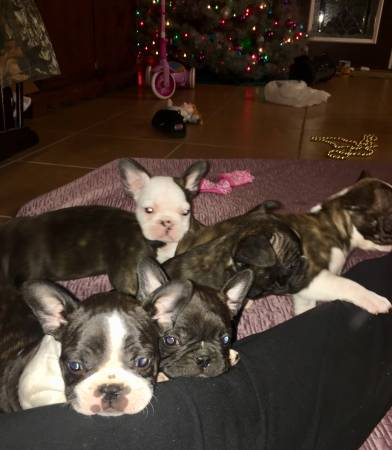 Frenchton Puppies 950 Poplarville Ms General Items