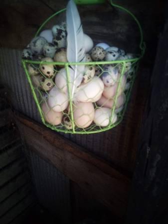 Photo corturnix quail eggs - $3 (Sandy Hook)