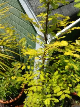 Photo Dawn Redwood Tree about 6 to 7 foot - $60 (Eureka)