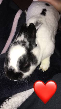Photo Free bunny to a good and forever home (Huntington)