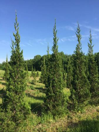 Photo Cant Find EMERALD GREEN ARBORVITAE - $140 (Manchester)