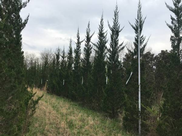 Photo Cant find TALL EMERALD GREEN ARBORVITAE - $137 (Manchester)